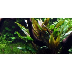 TROPICA - Cryptocoryne undulata 'Broad Leaves'