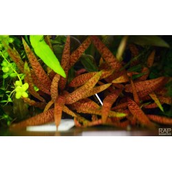 TROPICA - Cryptocoryne albida 'Brown'