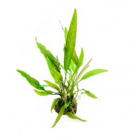 DENNERLE - Cryptocoryne Usteriana -Cup  in Vitro