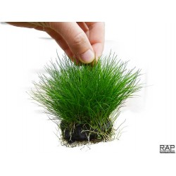 Wabikusa eleocharis sp mini rareaquaticplantshop for Pianta da pavimento verde