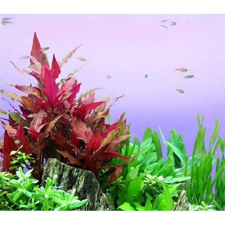 DENNERLE Alternanthera reineckii 'Red'  - VASETTO Pianta Rossa d'Acquario dolce tropicale