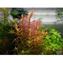 DENNERLE - Rotala rotundifolia 'Orange Juice' - Pianta Rossa d'acquario