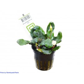 NEWS!!! TROPICA - Bucephalandra sp. 'Red' - Pianta Verde d'Acquario dolce tropicale