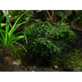 Loxogramme sp. 'Wave moss' Protallo Muschio d'Acquario Dolce Tropicale