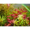 AQUAFLEUR - Ludwigia palustris 'Red' - Vasetto Pianta d'acquario Rossa