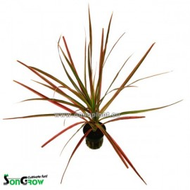 SONGROW - Dracena marginata 'Red'- Pianta Rossa da Terrario