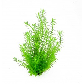 SONGROW - Rotala sp. 'Green' Vasetto