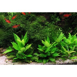 SONGROW - Hygrophila 'Dwarf' - Pianta d'acquario