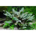 AQUAFLEUR - Cryptocoryne wendtii 'Brown' - Pianta per Acquario