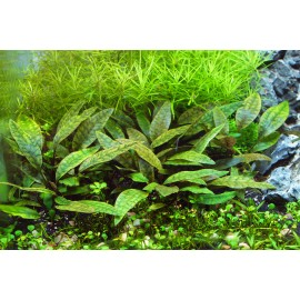 SONGROW - Cryptocoryne purpurea - Pianta d'acquario Rossa