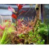 SONGROW - Ludwigia inclinata var. verticillata 'Curly/Tornado' - Pianta d'acquario Rossa