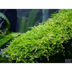 TROPICA 1•2•Grow! - Weeping Moss - Vesicularia ferriei