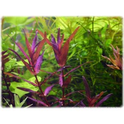 Rotala macrandra 'Narrow leaf'