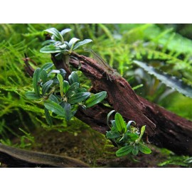 DENNERLE - Bucephalandra sp. 'Mini Needle Leaf' - Pianta per Acquario