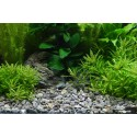 Ghiaia naturale River L 8-12mm 5Kg - Plantahunter  Substrato per Aquascaping