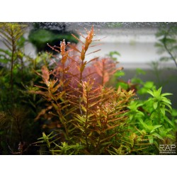 Rotala rotundifolia 'Orange Juice' - Pianta Rossa d'acquario
