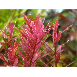 Rotala rotundifolia 'Colorata' - Vasetto Pianta Rossa d'Acquario Dolce Tropicale