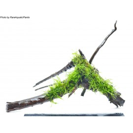 DENNERLE - Spider Wood con Java moss - Muschio di Java- DECOR per Acquario Dolce