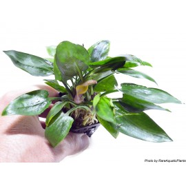 SONGROW - Cryptocoryne pontederifolia - In Vitro