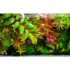 DENNERLE - Rotala rotundifolia 'Coin Leaf' - Pianta Rossa d'acquario dolce tropicale VASETTO