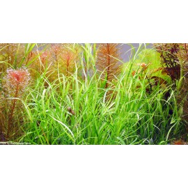 Juncus repens - Pianta d'acquario Verde