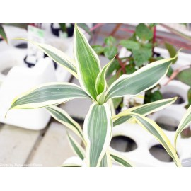 SONGROW - Dracaena sanderiana White Green - Pianta per Terrario