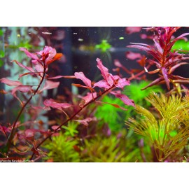 Ludwigia sp. 'Super Red' - Vasetto Pianta d'acquario Rossa