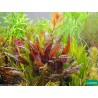 Cryptocoryne wendtii 'Brown' - Vasetto Pianta per Acquario